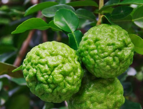What Makes the Kaffir Lime so Distinct?